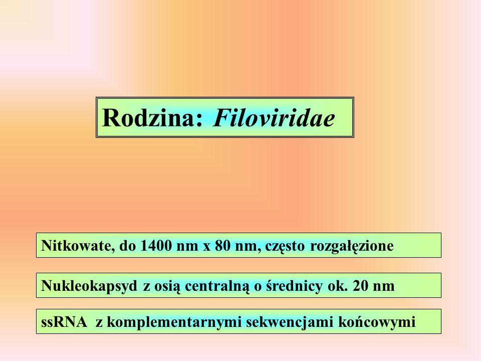Rodzina: Filoviridae Nitkowate, do 1400 nm x 80 nm, często rozgałęzione. Nukleokapsyd z osią centralną o średnicy ok. 20 nm.