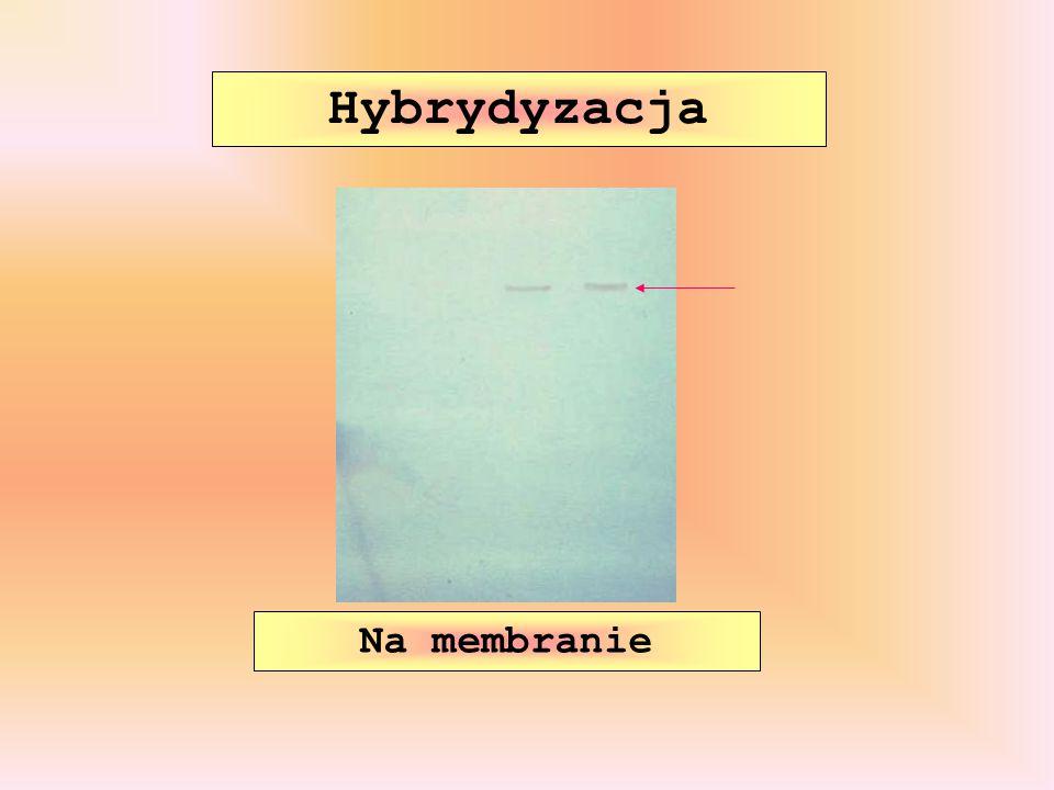 Hybrydyzacja Na membranie