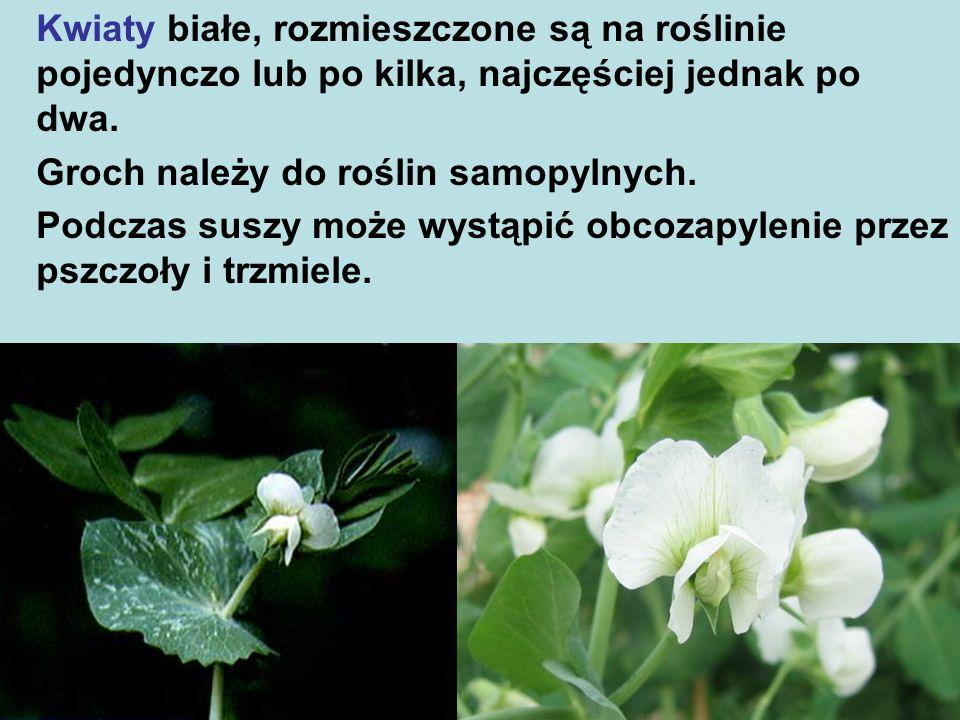 Kwiaty białe, rozmieszczone są na roślinie pojedynczo lub po kilka, najczęściej jednak po dwa.
