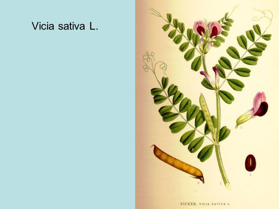 Vicia sativa L.