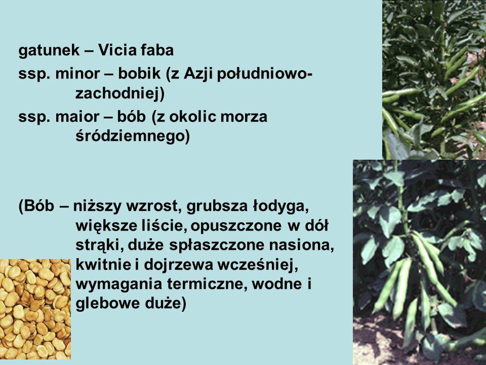 gatunek – Vicia faba ssp. minor – bobik (z Azji południowo-zachodniej) ssp. maior – bób (z okolic morza śródziemnego)