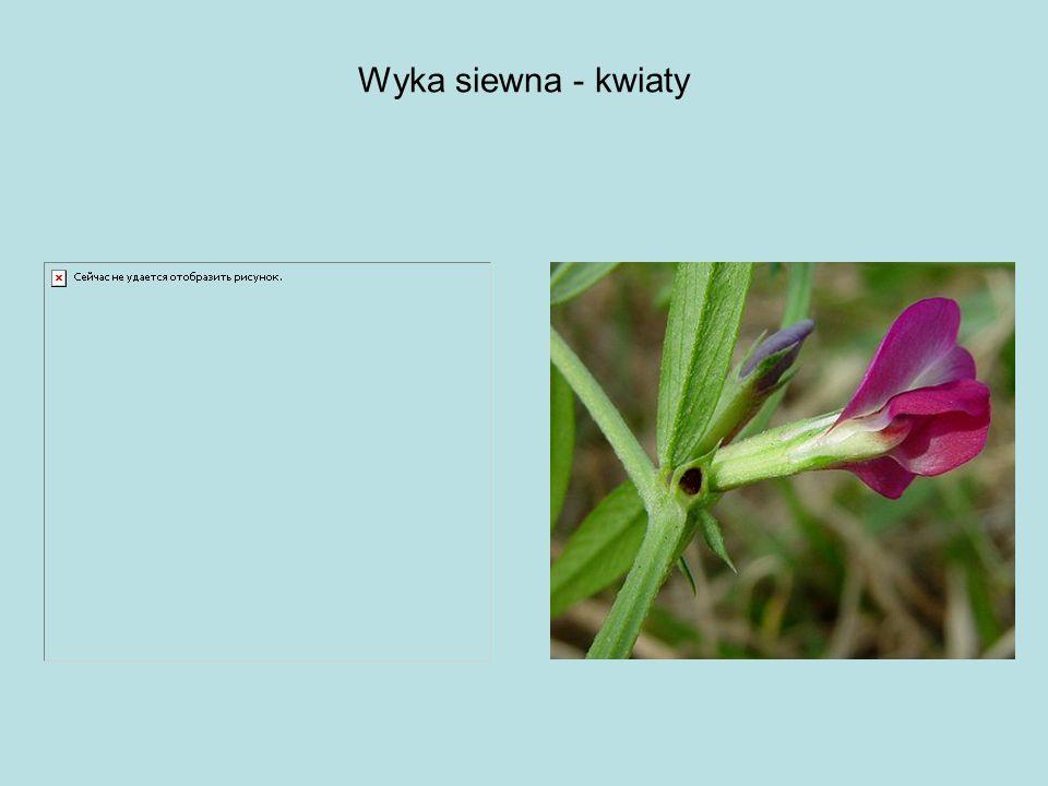 Wyka siewna - kwiaty Kwiaty wyki jarej mają grzbiecista symetrię