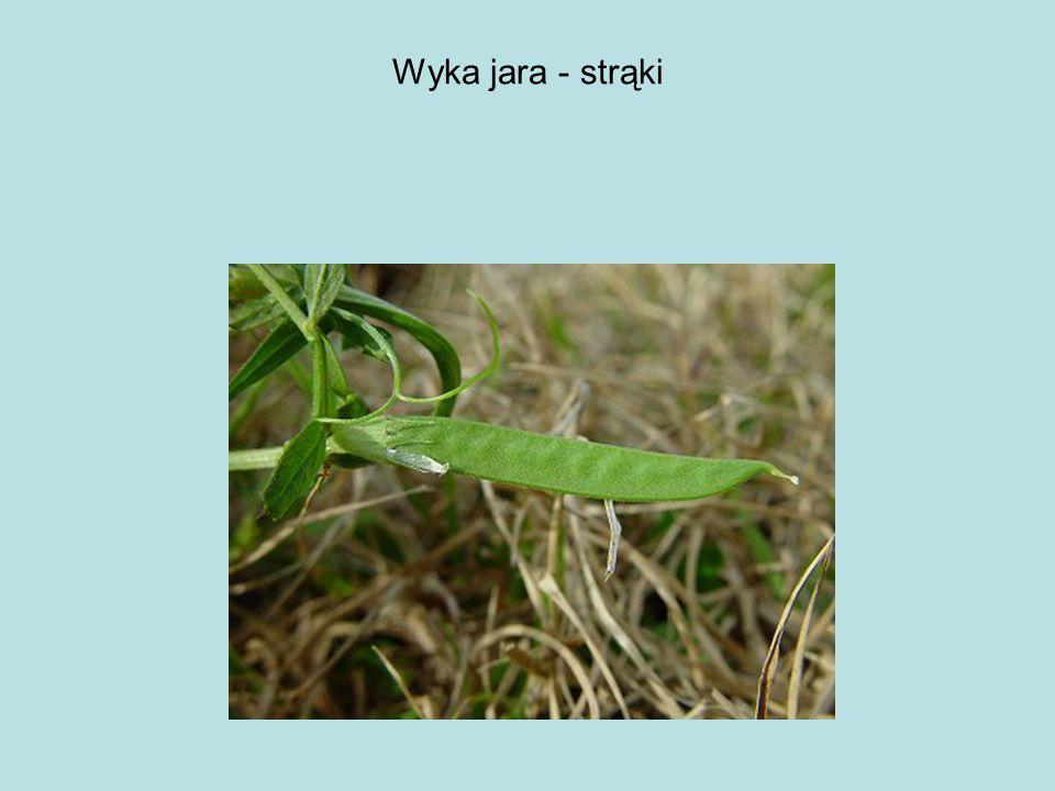 Wyka jara - strąki