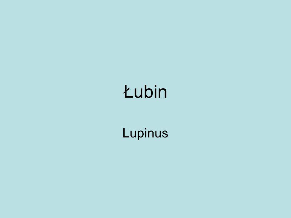 Łubin Lupinus