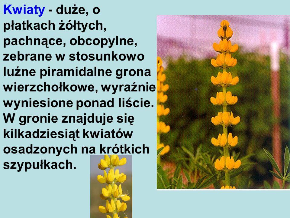Kwiaty - duże, o płatkach żółtych, pachnące, obcopylne, zebrane w stosunkowo luźne piramidalne grona wierzchołkowe, wyraźnie wyniesione ponad liście.