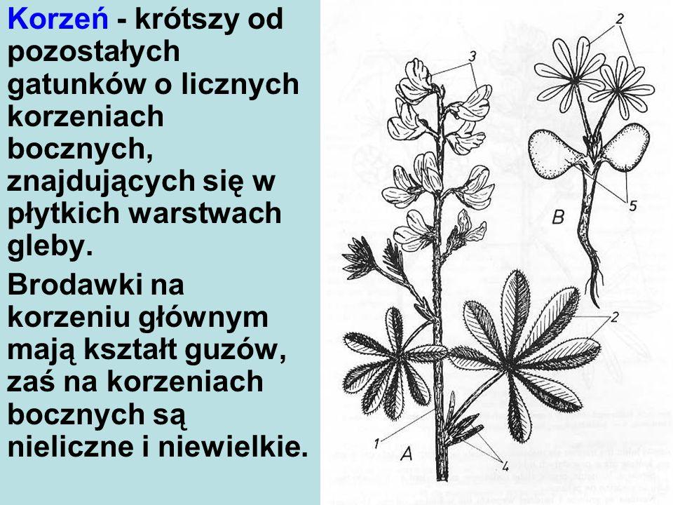 Korzeń - krótszy od pozostałych gatunków o licznych korzeniach bocznych, znajdujących się w płytkich warstwach gleby.