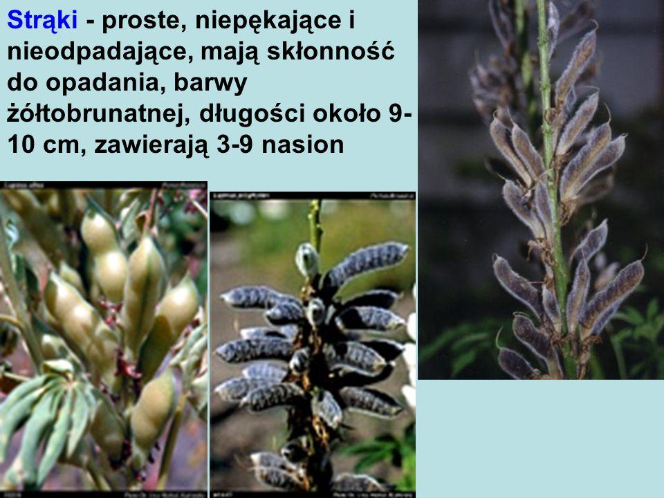 Strąki - proste, niepękające i nieodpadające, mają skłonność do opadania, barwy żółtobrunatnej, długości około 9-10 cm, zawierają 3-9 nasion