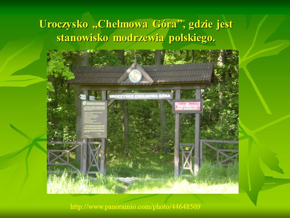Uroczysko ,,Chełmowa Góra , gdzie jest stanowisko modrzewia polskiego.