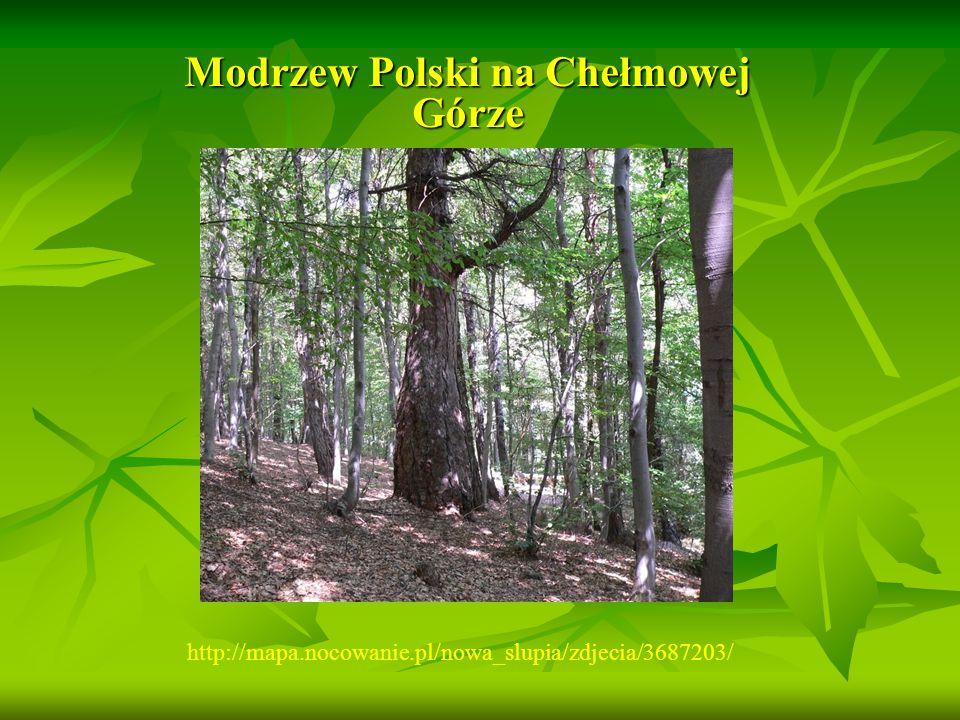 Modrzew Polski na Chełmowej Górze