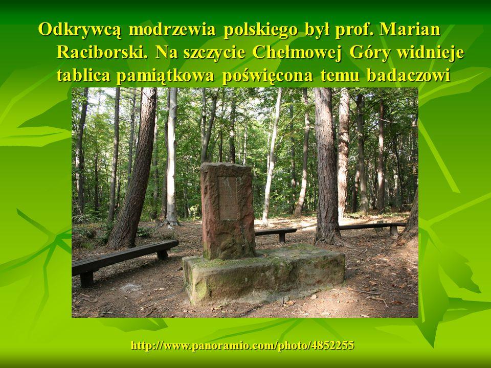 Odkrywcą modrzewia polskiego był prof. Marian Raciborski