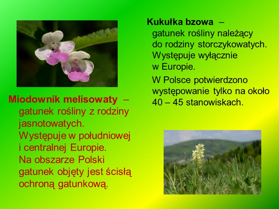 Kukułka bzowa –gatunek rośliny należący do rodziny storczykowatych