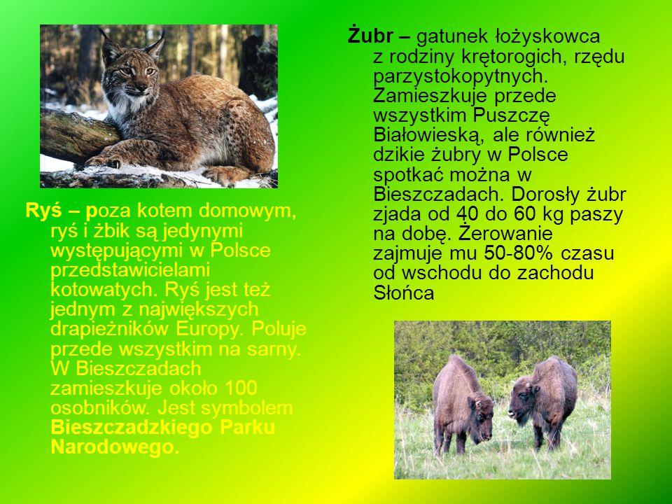 Żubr – gatunek łożyskowca z rodziny krętorogich, rzędu parzystokopytnych. Zamieszkuje przede wszystkim Puszczę Białowieską, ale również dzikie żubry w Polsce spotkać można w Bieszczadach. Dorosły żubr zjada od 40 do 60 kg paszy na dobę. Żerowanie zajmuje mu 50-80% czasu od wschodu do zachodu Słońca