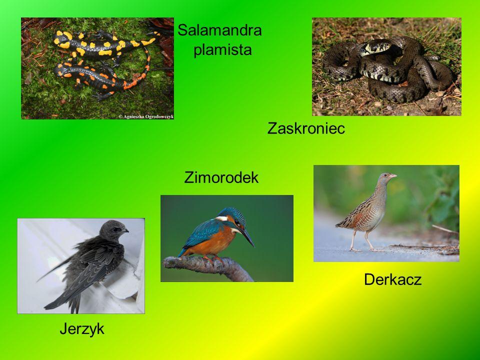 Salamandra plamista Zaskroniec Zimorodek Zimorodek Derkacz Jerzyk