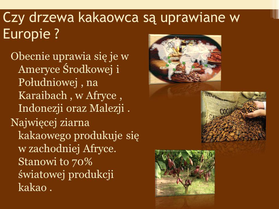 Czy drzewa kakaowca są uprawiane w Europie