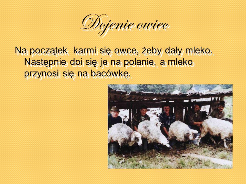 Dojenie owiec Na początek karmi się owce, żeby dały mleko.