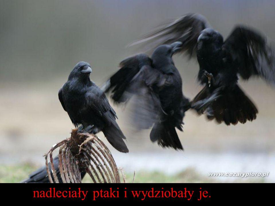 nadleciały ptaki i wydziobały je.