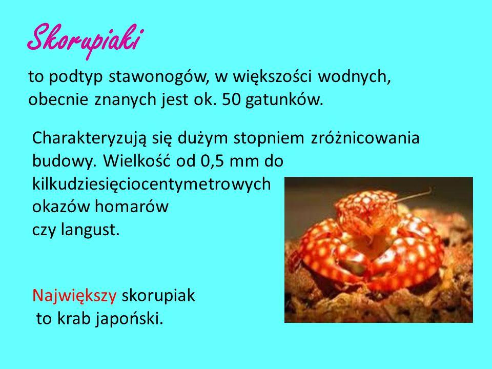 Skorupiaki to podtyp stawonogów, w większości wodnych, obecnie znanych jest ok. 50 gatunków.