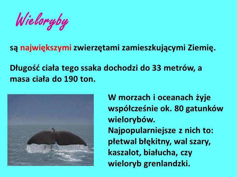 Wieloryby są największymi zwierzętami zamieszkującymi Ziemię.