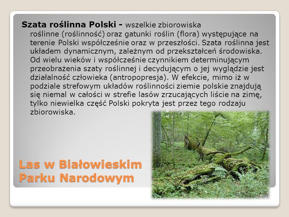Las w Białowieskim Parku Narodowym