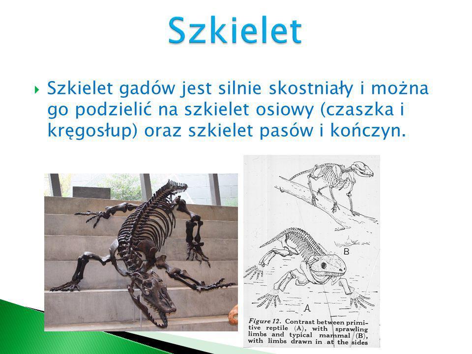Szkielet Szkielet gadów jest silnie skostniały i można go podzielić na szkielet osiowy (czaszka i kręgosłup) oraz szkielet pasów i kończyn.