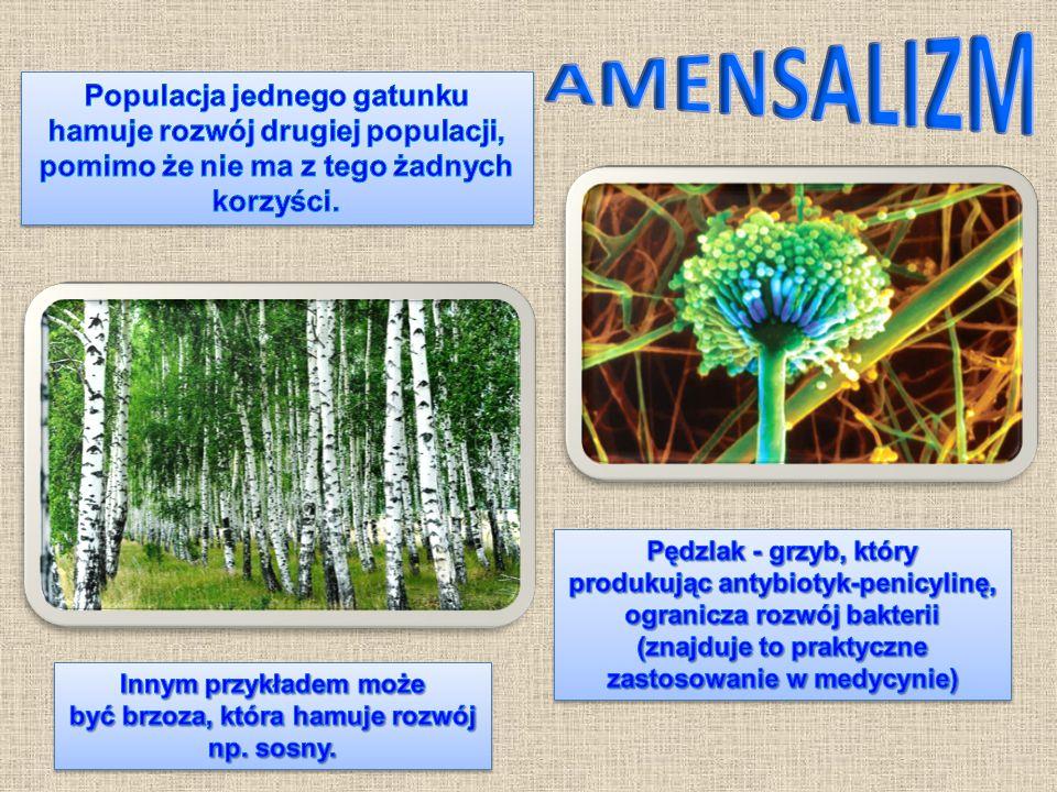 Innym przykładem może być brzoza, która hamuje rozwój np. sosny.