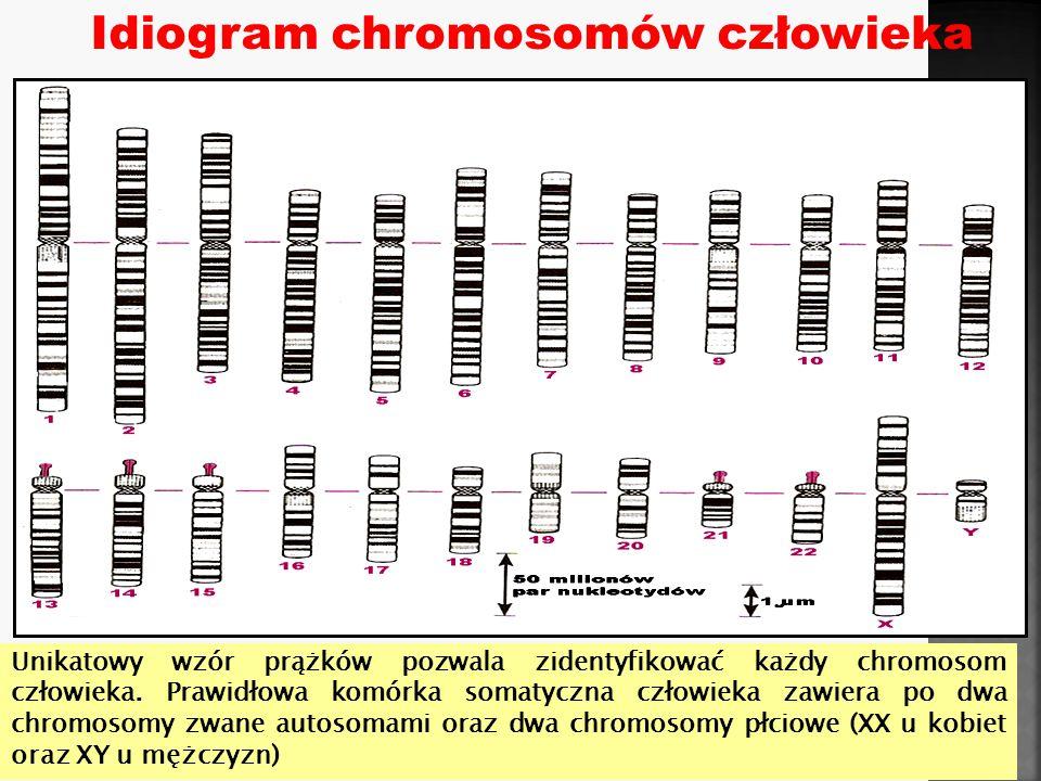 Genom jądrowy człowieka, wzór prążkowy (idiogram)