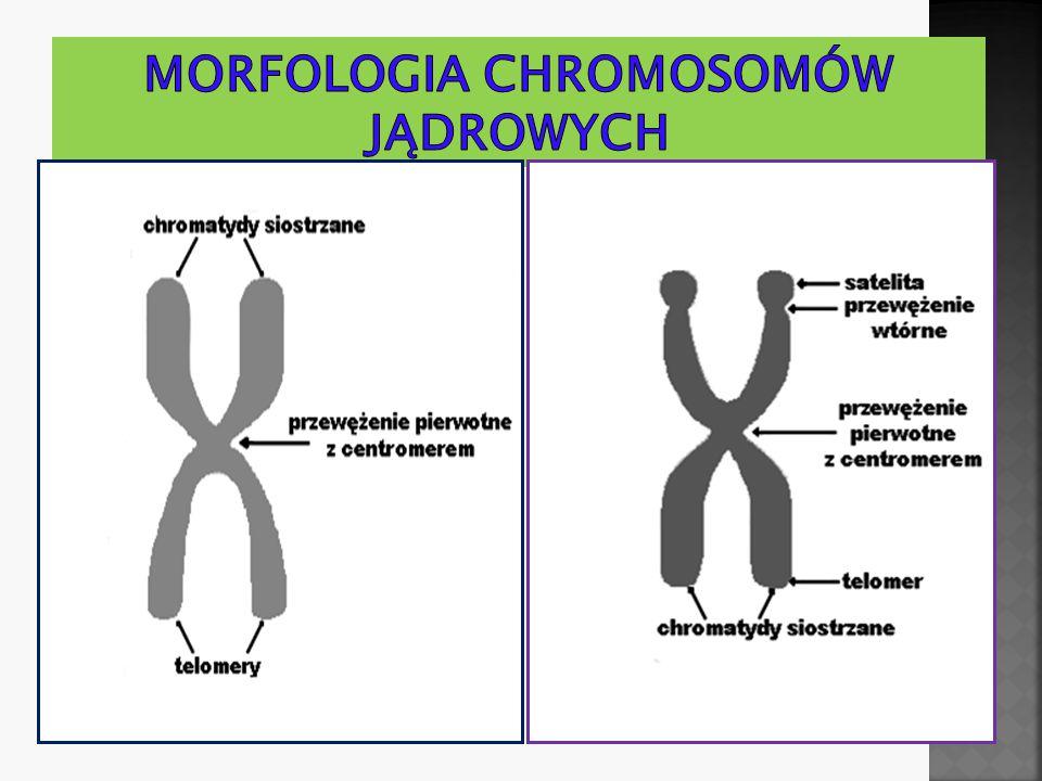 Morfologia chromosomów jądrowych