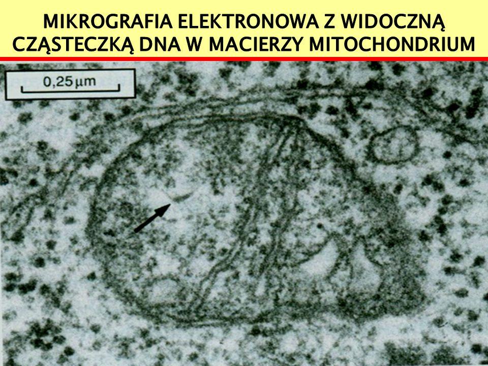Mikrografia elektronowa z widoczną cząsteczką DNA w macierzy mitochondrium
