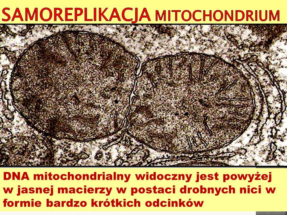 Samoreplikacja mitochondrium