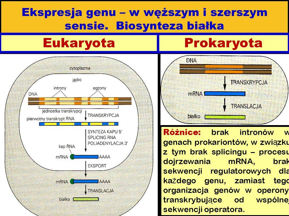 Ekspresja genu – w węższym i szerszym sensie. Biosynteza białka