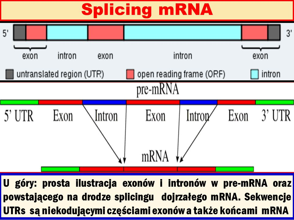 Splicing mRNA