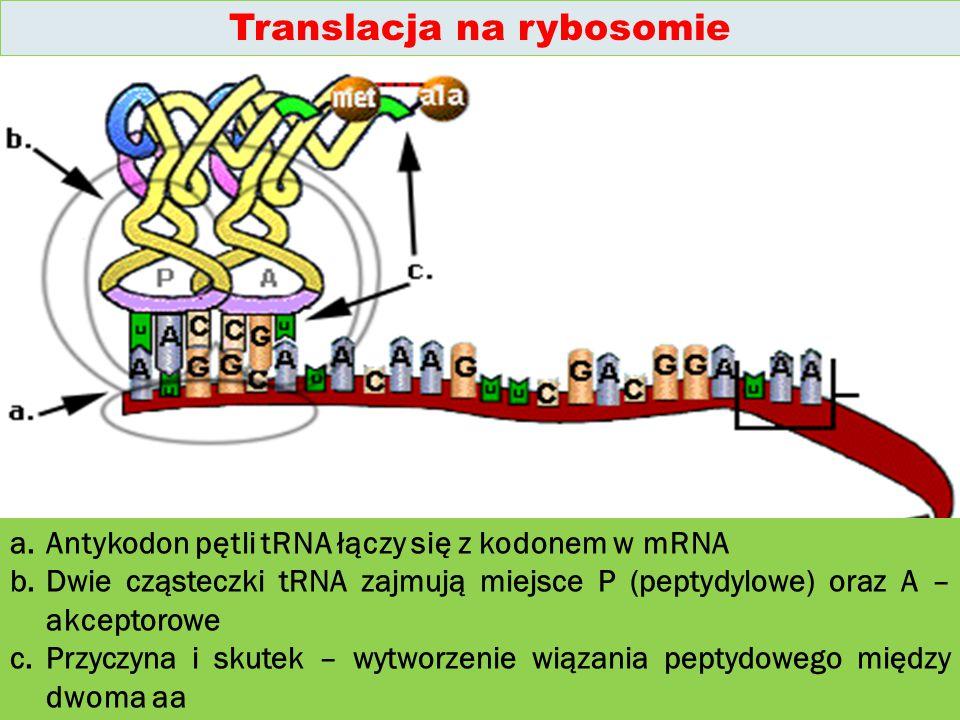Translacja na rybosomie