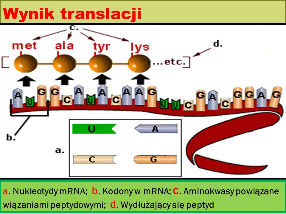 Wynik translacji a. Nukleotydy mRNA; b. Kodony w mRNA; c.
