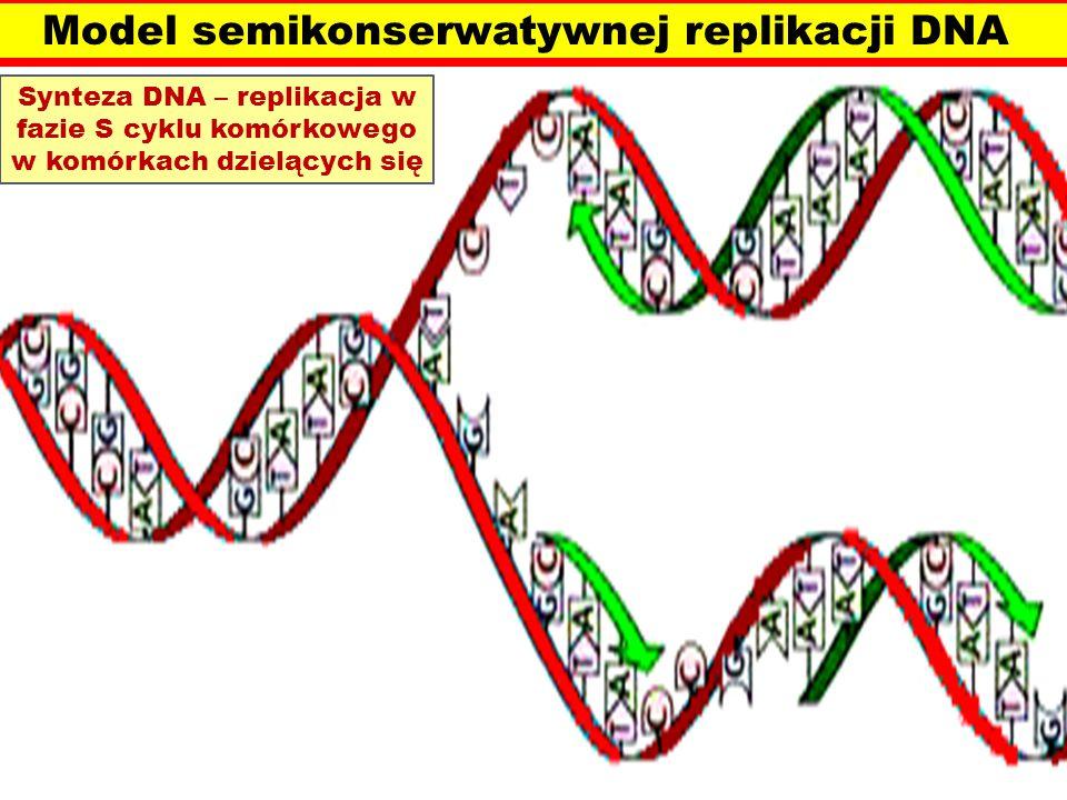 Model semikonserwatywnej replikacji DNA