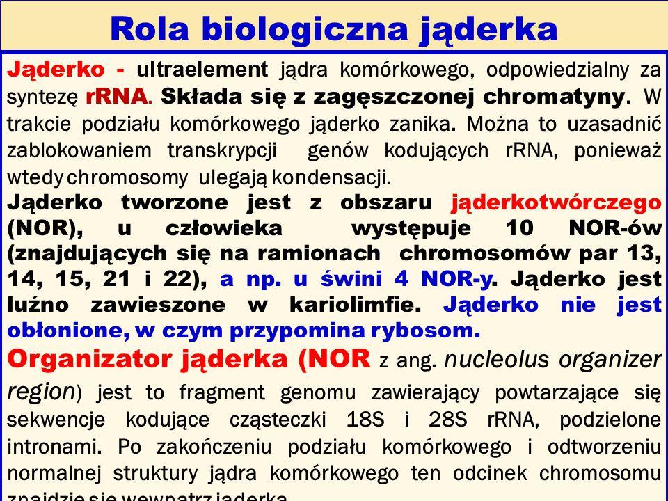 Rola biologiczna jąderka