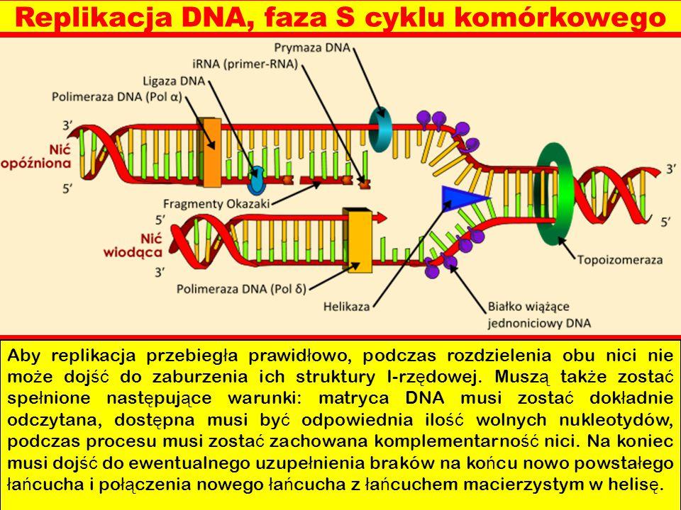 Replikacja DNA, faza S cyklu komórkowego