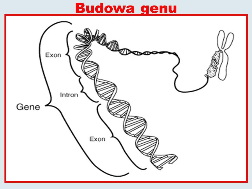 Budowa genu