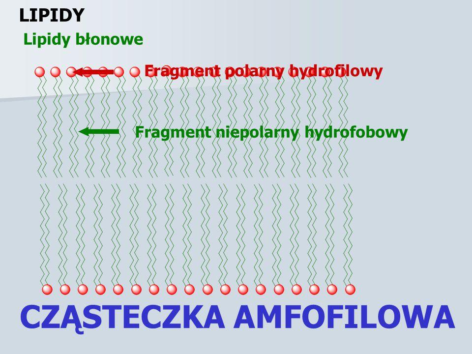 CZĄSTECZKA AMFOFILOWA