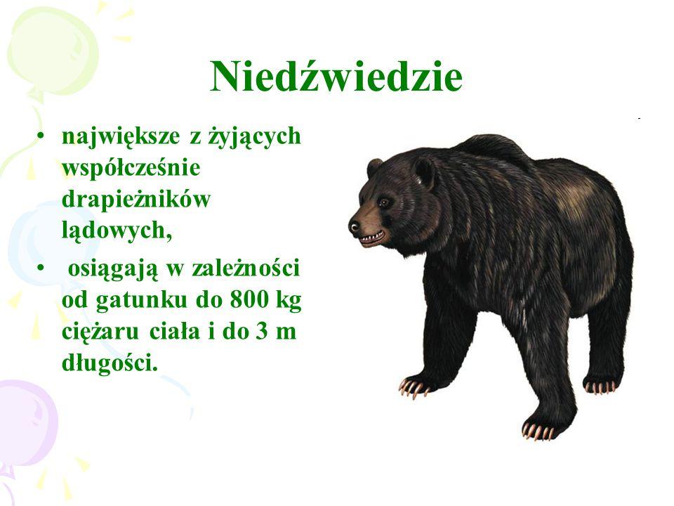 Niedźwiedzie największe z żyjących współcześnie drapieżników lądowych,