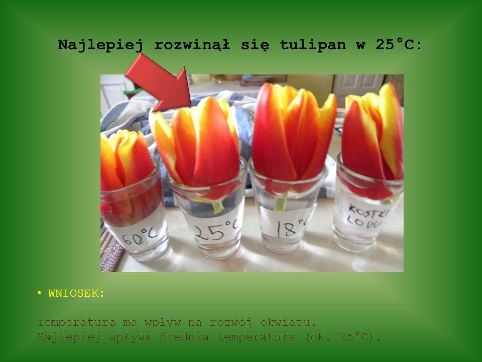 Najlepiej rozwinął się tulipan w 25°C: