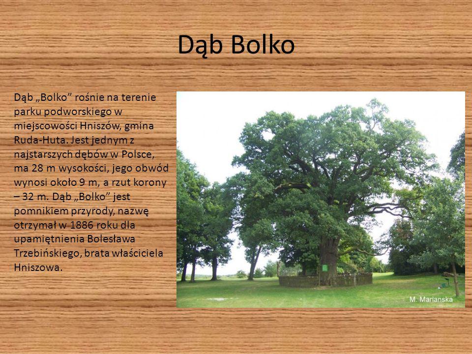 Dąb Bolko