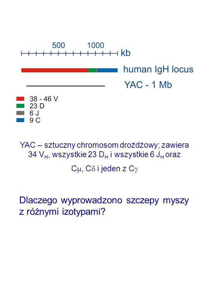 Dlaczego wyprowadzono szczepy myszy z różnymi izotypami