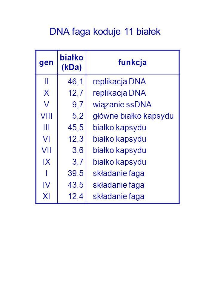 DNA faga koduje 11 białek gen białko (kDa) funkcja II X V VIII III VI