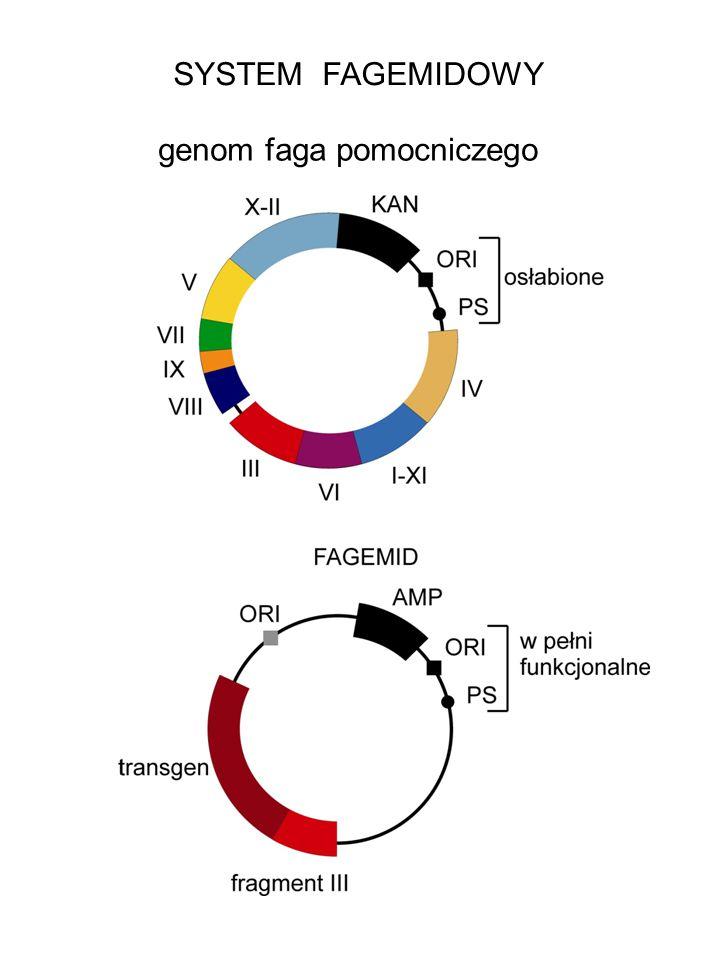 SYSTEM FAGEMIDOWY genom faga pomocniczego