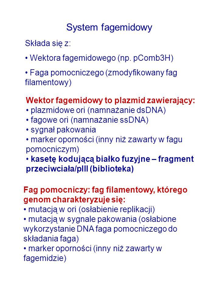 System fagemidowy Składa się z: Wektora fagemidowego (np. pComb3H)
