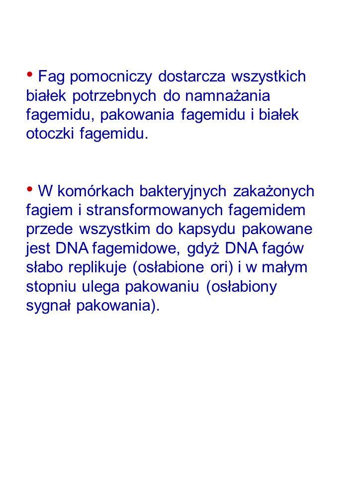 Fag pomocniczy dostarcza wszystkich białek potrzebnych do namnażania fagemidu, pakowania fagemidu i białek otoczki fagemidu.