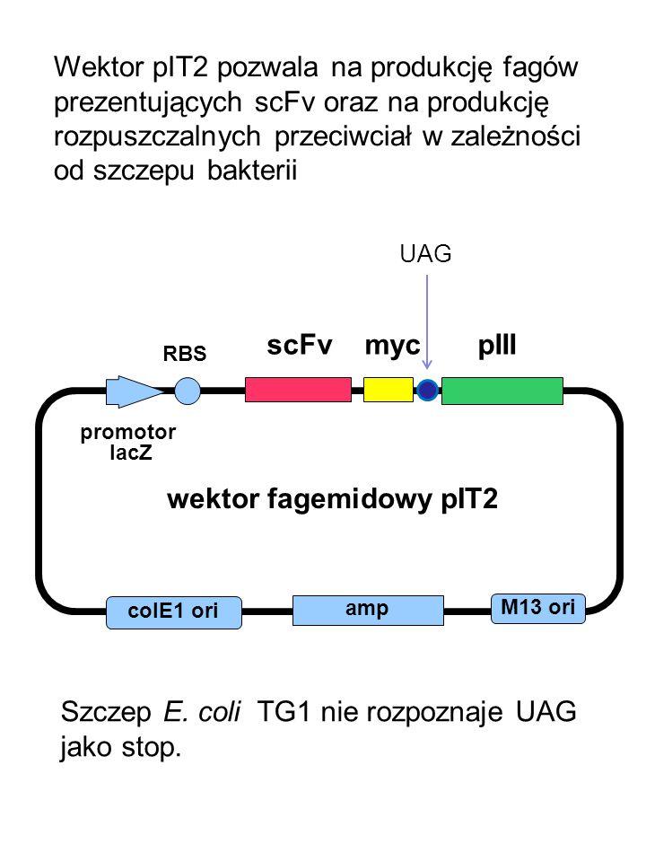 Szczep E. coli TG1 nie rozpoznaje UAG jako stop.