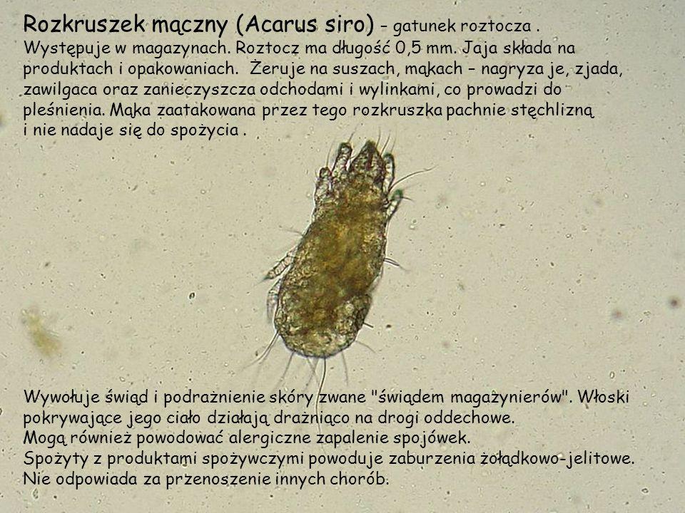 Rozkruszek mączny (Acarus siro) – gatunek roztocza .