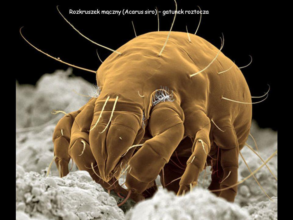 Rozkruszek mączny (Acarus siro) – gatunek roztocza