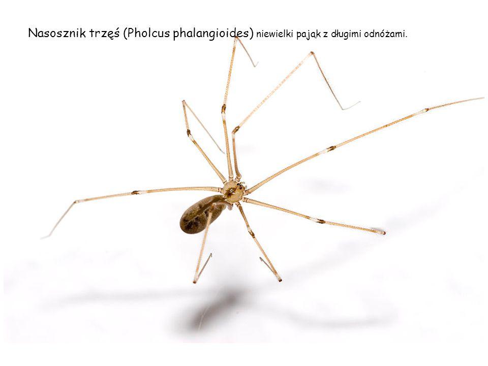 Nasosznik trzęś (Pholcus phalangioides) niewielki pająk z długimi odnóżami.